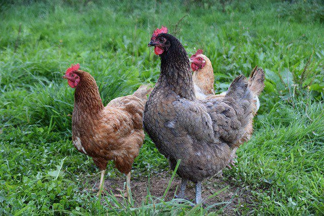poules basse-cour influenza aviaire © Pixabay
